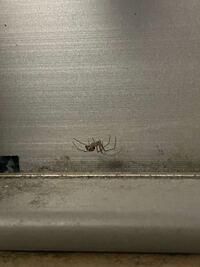 蜘蛛について質問です。 家の使っていない部屋の窓のところにこのような蜘蛛がいたのですがなんの種類なんでしょうか? アシダカグモは巣を張らないというので違うと思っています。 巣を張るクモは害虫ときいたことがあるのですが潰してしまっていいんでしょうか? よろしくお願いします。