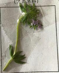 この植物の名前を至急教えて頂きたいです! 見にくいと思うんですが、葉は輪生で、花は離弁花で花弁は4枚です。色は薄紫色です。