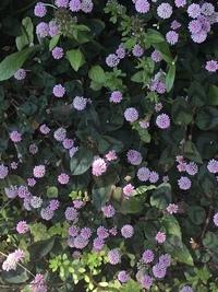 この花は雑草でしょうか? 気づいたら庭にたくさん咲いていました。 とても可愛いんですが、 どんどん増えてしまうのでしょうか?