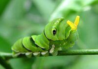 【閲覧✩注意】ナミアゲハの幼虫をすごくかわいいと思います。 ㅤㅤㅤㅤㅤㅤㅤㅤㅤㅤㅤㅤㅤ  ナミアゲハの幼虫に名前をつけるならば、どんな名前にしますか?