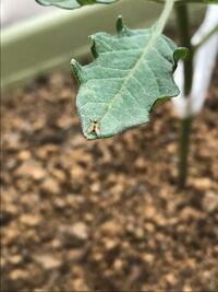 トマトの葉に虫が付いたのですが、何の虫でしょうか。