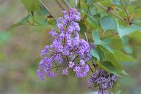 那須で見かけた花です。 薄紫の小花の集まりです。  この花の名前を教えて下さい。 宜しくお願いします。