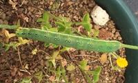 ★アヤモクメキリガについて★  *注意:虫の画像あります!  自宅の勝手口横に生えている背の高いタンポポ?みたいな雑草で初めてアヤモクメキリガの幼虫を見かけました。 5cm以上に大き く育っている幼虫なのでそろそろ蛹化するのではないかと思うのですが、硬い土とコンクリートの脇から出ている草に着いているため蛹化場所がないのでは?とちょっと心配です。 アヤモクメキリガはスズメガの仲間み...