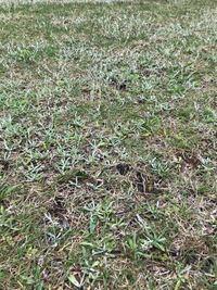 芝生の除草剤について。高麗芝に効く除草剤ですが調べるとMCPPといわれているものは、うちの雑草も駆除出来ますでしょうか?芝よりも雑草が目立つくらいです。水で希釈するみたいですが、濃度が濃いと芝も枯れてしま うのでしょうか?