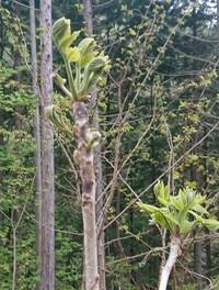 これは何かの山菜ですか? タラの芽に似てますが、トゲがないような気もします。  詳しい方お願いします。