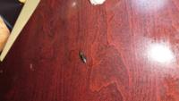 すいません この虫はクロウリハムシですかね? メロン育てていまして その防虫ネットについていました。