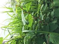 野草について調べているのですが、この写真の茎の赤い植物はイタドリでしょうか? ネットの情報を参考に食べられる野草を探していて、河原で見つけました。 情報に類似する点は多いのですが、 初心者なものでご...