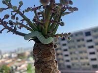 ベランダの観葉植物に青虫がついていました。 何の幼虫かわかりますか? 観葉植物の名前はわかりません... (購入したときの値札についている名前が間違えていたため)
