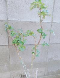 四季咲きの薔薇が咲かない 家で育てております薔薇がなかなか咲かなくて焦ってます。 去年の11月頃にタイタニックという品種の薔薇を買ってきて植え替えました。 園芸初心者で薔薇を育てるのは初めてだったのですが、思い入れがあるという理由と丈夫な品種と伺ったので育ててました。 ですが、ぜんぜん咲く気配がありません。  どうしたら咲きますか? そして、育て方のポイントや注意点など教えていただきたいです...