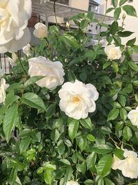 この白い花の名前を教えてください。トゲはありません。芍薬ですか?