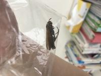 この蜂に刺されました。この蜂の種類がわかるかた教えて下さい。