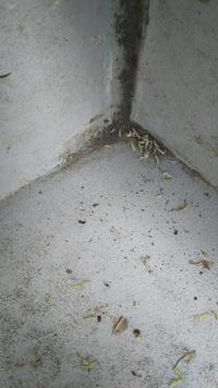 シロアリですか?2階の ベランダのすみに3~4mmの幼虫がいました。 対策が必要ですか? 木造ですが、古い家ではありません