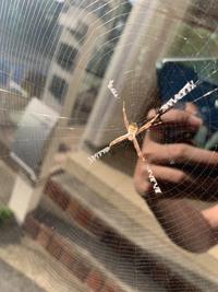 今朝、車の窓に初めて見る蜘蛛が巣を作っていました。 これは何という蜘蛛なのでしょうか? 毒などある危険な種類のものでしょうか? 蜘蛛が苦手なので車から離したいのですが怖いです。