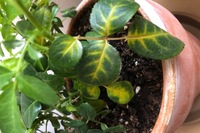 ミニバラの葉の一部がこのように変色しています。 ぐったりしてる様子もないし、新芽にはない、古い下の葉だけなので老化現象かな? とも思ってたのですが不安なので質問しました。 薬害か肥 料やけなどでしょ...