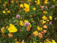 画像の黄色い花の名前を教えてください。 今月上旬近所の空き地で見掛けました。 ピンクの花はアカツメクサだと分かります。