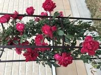バラの品種について教えて下さい。 先般知り合いからもらい受けて庭に植えたところ、4月半ばには綺麗な花をつけました。 その後花は散り、今は若い芽がどんどん伸びてきて一番高いところでは1 メートル70センチくらいになっています。 かなり茂ってきたので剪定したいのですが、品種が分からないので、いつ、どの枝を切ったらよいのか分からず、困っています。 このバラの品種や剪定の仕方が分かる方、教え...
