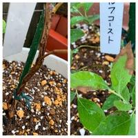 ブルーベリーの苗木、枯れているんでしょうか? 最近、買ったばかりのブルーベリーの苗木です。 画像のとおり葉が先から茶色くなっています。 茎も枯れているように見えるのですが、初めて育 てるので、この状態が大丈夫なのかがわかりません。 もし枯れ始めているのであれば、何か対処法なども教えていただきたいです。よろしくお願いします