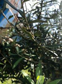 オリーブの木に何かの幼虫がいるのですが、何なのかわかりますか? 蛾でも蝶でも、子供が毎日楽しみに見てるので見守るつもりでいます!