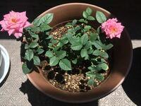 ミニバラの新芽について教えて下さい。 4月にミニバラをいくつか購入し花も咲き終わったため花柄をほぼ摘みました。  他の鉢は花柄摘みの後に新芽が出てきたのですが、写真のピンクのミニバラの鉢だけは新芽が見...