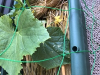 これは、うどんこ病ですか? きゅうりを家庭菜園で育てているのですが葉に斑点がついており、気になってます。 教えてください。