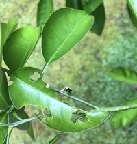 みかんの葉っぱについて教えて下さい!!  先日もみかんの葉っぱについて質問させていただいたものです。  今回は写真の虫? について教えて下さい。 蝶の幼虫がいないことは確認しており(去年大被害にあい...