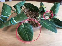 ゴムの木(フィカス・ベンガレンシス)の挿し木はどのくらいで根が出てきますか? 写真のような状態で半日陰に置いて切り口に湿らせた水苔を巻いています。 挿してから1週間が経過し、4本のうちまだどれも根はでてきていません。 ○で囲った新芽や葉の色が悪くなってきて心配です。  早く根を出すために何かできることはあるでしょうか、、 また、水苔を湿らす水にメネデールを使うのは効果ありますか?