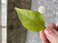 家庭菜園 ピーマンの苗について質問です。 1週間ほど前に、プランターにピーマンの苗を植えました。 植えてから4日目あたりに写真のような白いものが、苗の下の数枚にできました。 これはダ ニや虫の影響でし...