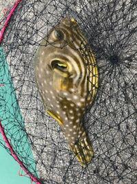 沖縄中部の漁港で釣り上げた魚ですが名前が分かりません。ご存知の方がいらっしゃいましたら教えて下さい。