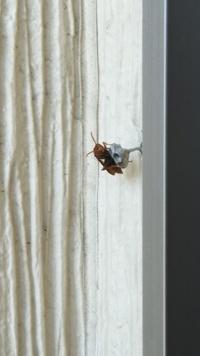 ベランダに蜂の巣発見 スズメバチですか?  今朝、洗濯物を干していたら見つけました。 スズメバチでしょうか。 駆除は業者に依頼したほうが良いですか? 市に依頼できるものでしょうか?