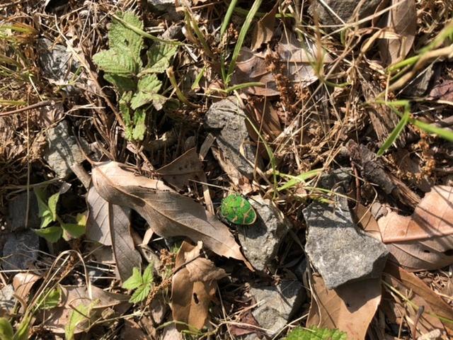 静岡のキャンプ場で見つけたんですが、この虫はなんですか? すごく模様が可愛かったので写真を撮りました! 時期は5月の中旬で晴れた朝地面を歩いてました