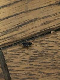 この虫はなんていう虫ですか? ゴキブリなのではと思いますがこれより大きいサイズは見た事ありませんし、よく分かりません。 発生原因と発生しないよう対策方法があれば教えて欲しいです。 よろしくお願いします。
