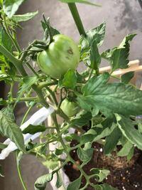 中玉トマト(品種名アイコ)を育てていますが、実に何かカサブタのようなものができています。もともと悪性が難しいことは承知していますが、何が原因なのでしょうか。また、対策はなにがあるか教えてください