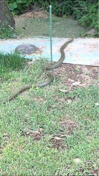 これはシマヘビですか? このヘビはでかいですか?