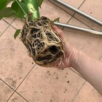 観葉植物・モンステラの植え替えについて。 初心者なので、ネットやいつも庭の世話をしている父の情報を頼りに、昨日植え替えを終えましたが、少し不安が残っています。  購入したのはちょうど一週間前。近くのホームセンターである程度育ったモンステラを買いました。水やりや霧吹きなどはちょうどいい量にできていたと思います。購入して2日くらい経ったときに、葉先のほんの少しの部分だけが焦げたようになっているこ...