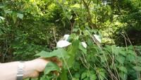 つる性の植物で他の木に巻きついている。 新芽の葉の数枚のみおもてが白く、裏が緑色。  このような植物の名前や性質をご存知の方がいらっしゃいましたらぜひ教えていただけませんか?