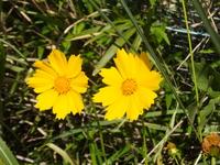 黄色い花が群生していました。 花の名前教えて下さい
