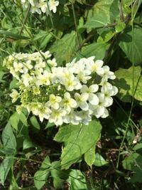 今日、家(兵庫県宝塚市)の近くの川沿いに咲いていたものを撮影しました。 白〜クリーム色の房状の花が咲いています。 なんという植物なのでしょうか?