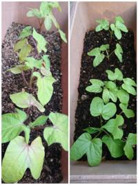朝顔の葉っぱの変色について この5月の上旬に、朝顔の種を植えました。 長方形のプランターに5つほど穴をあけ、 そこに3つずつ種をまきました。 双葉〜四葉くらいまではとても元気に育って いたのですが、(画...