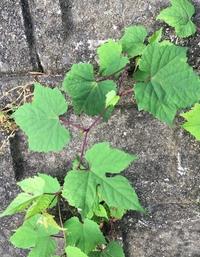 植物の名前を教えて下さい。 つる性の植物で結構至る所に 見かけます。 何という名前ですか? ご存知の方、教えて下さい。