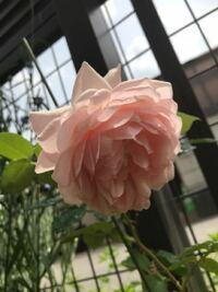 薔薇の咲き方の種類 この薔薇の咲き方はなんと言いますか? ロゼットとか剣弁咲とか色々ありますが。