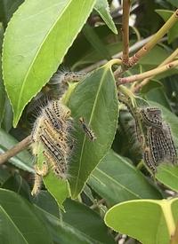 この毛虫の種類分かりますか? 椿の木に沢山いるんです。。。