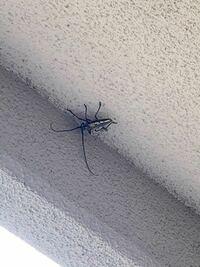 この虫はカミキリムシでしょうか? 動体で約7cm触角入れて15cm程です。