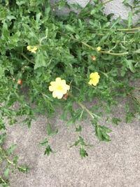 家の前の雑草が生えるとこに、今年から、この黄色い花が咲くようになりました。たくさん花が咲いてます。 草花だと思うんですが、何という花がわかりますか?花がかわいいから、雑草と一緒に抜くのが惜しくて残してます