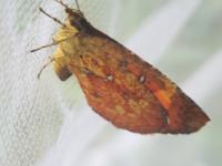 画像のチョウは何の種類のチョウでしょうか。小さめで、シジミチョウと同じくらいの大きさでした。