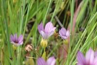 この植物の種類を教えて下さい アスファルトの際に生えています 高さは25㎝ぐらい 花は7ミリぐらいで 花の中は黄色です 花の下に膨らみがあります 葉は細長いです