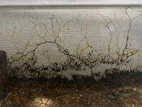 カブトムシのサナギを飼育している虫かごがカビまみれになってしまいました。 調べたところ問題は無いそうですが、ガラス面にまで侵食してきて非常に見た目が悪くなってきてしまいました なにか対策の方法はない...