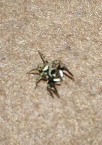 このクモの名前わかりますか? 画質悪くてすいません。
