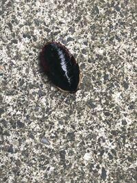 ゴキブリの写真があります。 家の玄関の出たところで遭遇して殺したゴキブリなのですが、これはなんて言うゴキブリでしょうか? 茶羽根ゴキではないとは分かります。もし、家に住み着かないタイプのゴキブリなら...