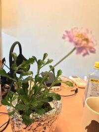 これなんの植物か分かりますか? マツムシソウじゃないかって言われはしたのですが....