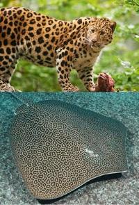 このヒョウ柄の生物は、どちらが擬態したのですか? ネコ科のヒョウと、エイの仲間であるヒョウモンオトメエイですね。 果たしてどちらが先にこの柄を獲得していて、どちらが後から真似て擬態したのでしょうか?...